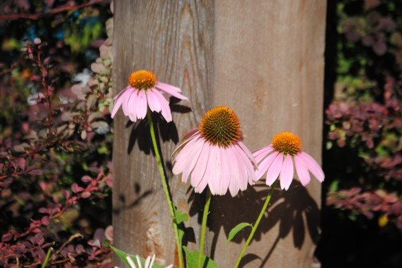 The Echinacea Girls using their feminine wiles.