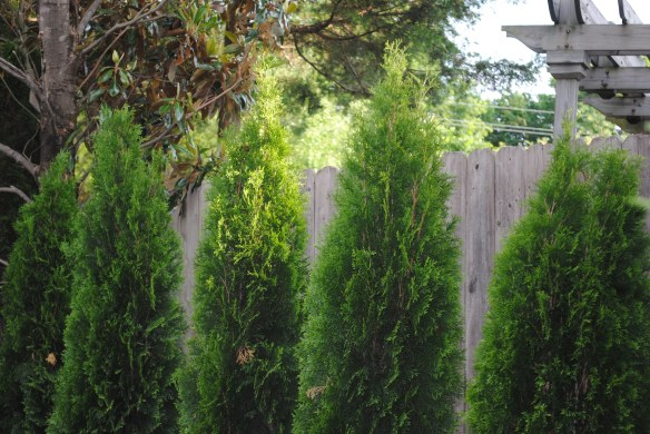 The new arborvitae barely clear the fence.